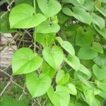 Tippa Tiga ( TINOSPORA CORDIFOLIA ) for Diabetes