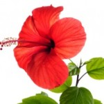 Hibiscus and Hair-Loss
