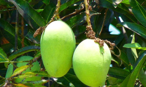 health-benefits-of-mango