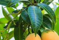Mango-Leaves